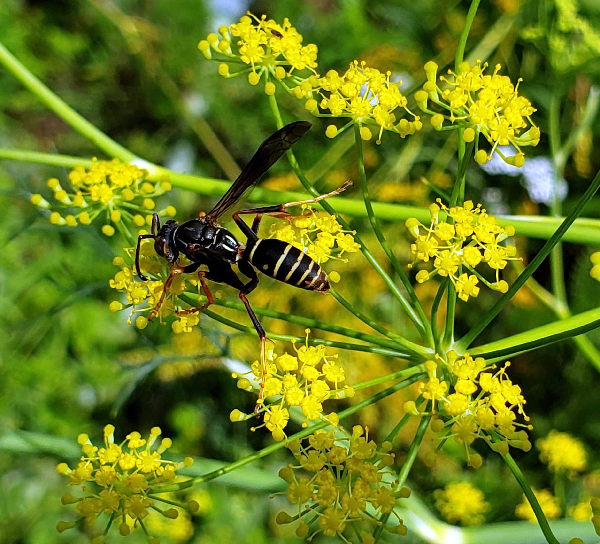 waspfennelflowersfruitguild11Aug2020