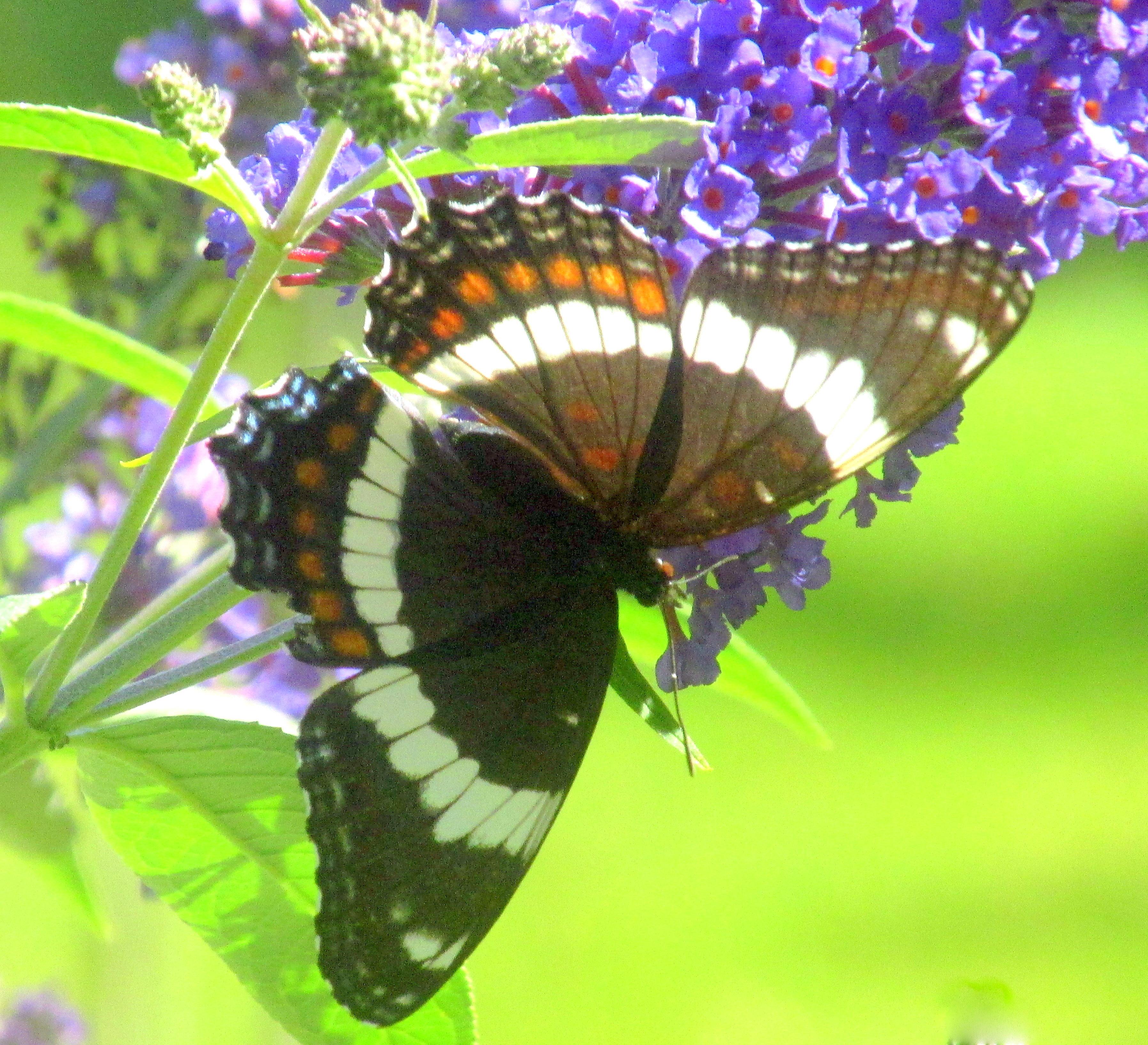 whiteadmiralbutterflywingsopenbuddleia18Aug2020
